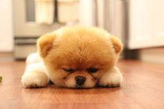sleepy fuzzball #cute #puppy #pom