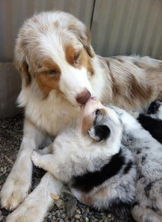 Things we adore about the Australian Shepherd Puppies Mini Puppies, Aussie Puppies, Cute Puppies, Dogs And Puppies, Teacup Puppies, Corgi Puppies, Cute Baby Dogs, Cute Baby Animals, Funny Animals