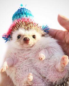 """2,937 Likes, 40 Comments - ᶜᴴᴼᶜᴼ✫ᴴᴱᴰᴳᴱᴴᴼᴳ (@choco.hedgehog) on Instagram: """". . マシューくんパパさんとこの #ハリチューヨ . #まるっと小動物展 用の写真をあと3パターンは撮りたい✨ . 実質明日がラストチャンス . #ハリネズミ #hedgehog #はりねずみ…"""""""