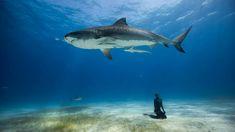 A tiger5 shark in the Bramudas.