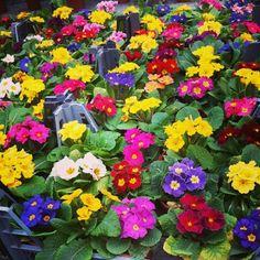 #primula #çuha #kartepecicekcilik Four Square, Flower Arrangements, Floral Wreath, Wreaths, Garden, Flowers, Plants, Decor, Floral Arrangements