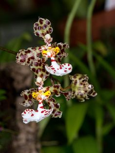 oncidium jonesianum