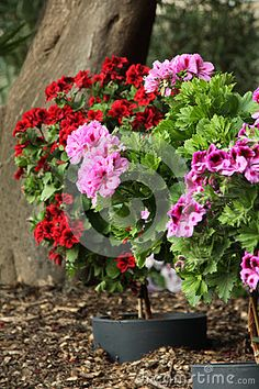 Stem Geraniums - Download From Over 54 Million High Quality Stock Photos, Images, Vectors. Sign up for FREE today. Image: 85321664