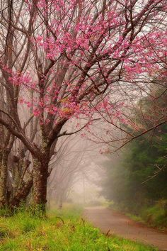 ~~Wild Himalayan Cherry Tree ~ Doi Inthanon National Park, Chingmai, Thailand by Thanes G. Beautiful World, Beautiful Places, Beautiful Scenery, Doi Inthanon National Park, Tree Forest, Forest Trail, Forest Path, Forest Road, Cherry Tree
