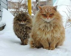 Norweigan Forest Cats aka the most cutest/fluffiest things ever!!!!!