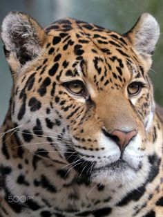 Beautiful Cats, Animals Beautiful, Chat Lion, Jaguar Pictures, Lion Tigre, Leopard Pictures, Wild Animal Wallpaper, Animals And Pets, Cute Animals