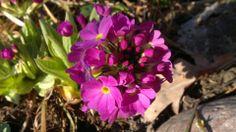 Esikko | Vesan viherpiperryskuvat – puutarha kukkii