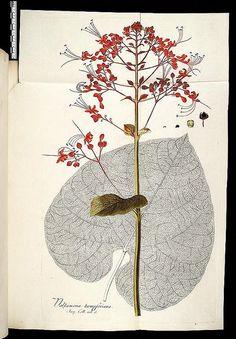 cones plantarum rariorum. Vindobonae :||Londini :||Lugduni Batavorum :||Argentorati :C.F. Wappler ;||B. White et filium ;||S. et J. Luchtmans :||A. König,1781-1793.. (by Biodiversity Heritage Library)