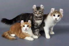 The American Curl Cat - Cat Breeds Encyclopedia. My beautiful Uranus will be an American curl ♡ Warrior Cats, Pretty Cats, Beautiful Cats, Pretty Kitty, Cute Cats And Dogs, Cats And Kittens, Curl Americano, American Curl Kittens, Cat Races