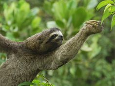 Brown-Throated Sloth, I'm going to take a lesson from him while on my dream vacaton!
