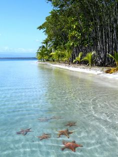Playa de estrellas, or starfish beach, is one of the most popular places in Bocas Del Toro. If you go - DONT take the starfish out of the water. Instead lift them to the surface of the water, but not out, and take your pictures that way 😊 Places Around The World, The Places Youll Go, Places To See, Around The Worlds, Dream Vacations, Vacation Spots, The Beach, Wonderful Places, Amazing Things