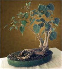 "The Peepal [Ficus] Tree in it's 'Bonsai-Avatar' - ""Trees are the earth's endless effort to speak to the listening heaven."" ~  'Kabiguru' [Poet-Guru] Rabindranath Tagore"