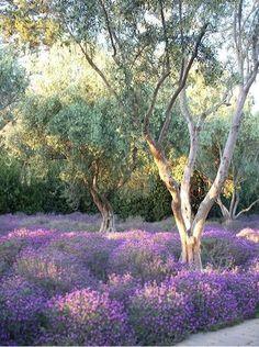 Lavender Fields with Olive Trees at San Ysidro Ranch, Santa Barbara, CA Lavender Blue, Lavender Fields, Lavender Flowers, Lavender Cottage, Beautiful Gardens, Beautiful Flowers, Provence, Landscape Design, Garden Design