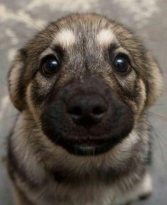 german sheppard puupy