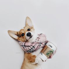 I have a new addiction to Starbucks. Also Bowen would never allow this. Find your best Corgi stuffs only at Corgilover. Cute Corgi, Corgi Dog, Cute Puppies, Dogs And Puppies, Dog Cat, Adorable Dogs, Dog Love, Puppy Love, Baby Animals