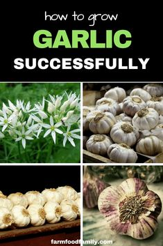 Garden Types How To Grow Garlic At Home (Successfully) – Gardening Garden Types, Organic Vegetables, Growing Vegetables, Growing Onions, Gardening Vegetables, Organic Fruit, Planter Ail, Planting Garlic, Home Vegetable Garden