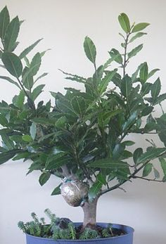 Bay Laurel... container grown, outside in summer, inside in winter