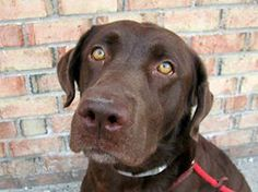 TO BE DESTROYED - 02/04/14 Brooklyn Center -P My name is FUDGE. My Animal ID # is A0990457. I am a male chocolate labrador retr. The shelter thinks I am about 1 YEAR 1 MONTH old. I came in the shelter as a STRAY on 01/27/2014 from NY 11208, owner surrender reason stated was STRAY. https://www.facebook.com/photo.php?fbid=751642874848594&set=a.611290788883804.1073741851.152876678058553&type=3&theater