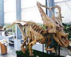Chasmosaurus belli, De Groene Poort, Boxtel. Dinosauria, Ornithischia, Marginocephalia, Ceratopsia, Ceratopsidae, Chasmosaurinae. Auteur : Ghedo, 2011.