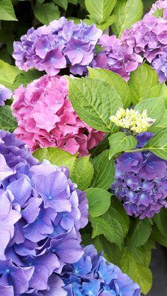 Big Flowers, Exotic Flowers, Pretty Flowers, Hydrangea Garden, Hydrangea Flower, Rose Flower Arrangements, Peonies And Hydrangeas, Garden Deco, Flower Photos