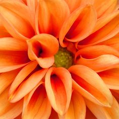 maids will have orange flowers Colorful Roses, Orange Flowers, Orange Color, Amazing Flowers, Beautiful Flowers, Fleur Orange, Macro Flower, Orange Aesthetic, Flower Aesthetic