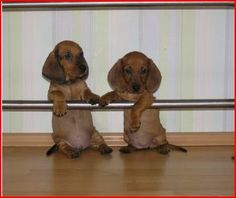 """Awesome """"dachshund puppies"""" information is available on our internet site. Dachshund Funny, Dachshund Puppies, Dachshund Love, Funny Dogs, Cute Puppies, Cute Dogs, Funny Animals, Cute Animals, Daschund"""
