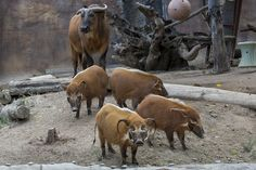 pictures of red hogs and pigs | ... ) Helen the Congo buffalo, red river hogs CT, Hamela, Amy, and Tarzan