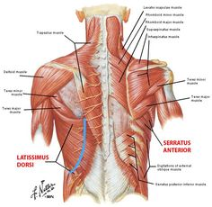 Chest Muscles Anatomy Pectoralis Major Muscle, Muscles Of Chest ...