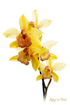 Blumenbild auf Leinwand oder Kunstdruck gelber Orchidee
