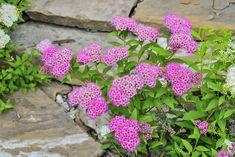 10 blommande buskar som tål allt Landscaping Shrubs, Landscaping Ideas, Low Maintenance Landscaping, Annual Flowers, Plant Needs, Potting Soil, Outdoor Settings, Trees And Shrubs, Flower Beds