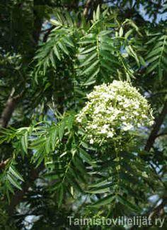 Sorbus 'Dodong' TUURENPIHLAJA  Tuurenpihlaja on peräisin Koreasta, ja se on nimetty ruotsalaisen dendrologi Tor Nitzeliuksen mukaan. Laji tuleentuu hyvissä ajoin ennen talvea normaalina syksynä. Jos syksystä tulee pitkä ja leuto, tuurenpihlaja saattaa alkaa kasvaa uudelleen, jolloin uusi kärkikasvu paleltuu ja puu haarautuu. Kasvutapa: Melko pystyoksainen, keskikokoinen koristepuu. Kasvu on nuorena nopeaa. Lehdistö: Vaikka lehdet ovat isot, ne näyttävät siroilta kapeiden lehdyköiden vuoksi…