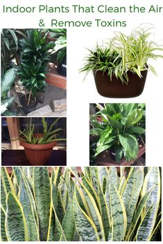 Indoor plants that clean the air and remove toxins. Here are the best indoor plants for air purification. From spider plants, snake plants, peace lilly, aloe vera plant, you can read about the recommendations made in the famous NASA study. Best Indoor Plants, Air Plants, Umbrella Tree, Corn Plant, Rubber Plant, Homemade Home Decor, Peace Lily, Spider Plants, Snake Plant