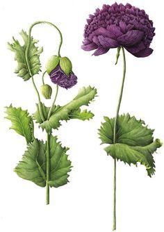 Botanical illustration of purple poppy