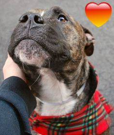 RETURN / DOH-B 05/20/16 STRAY --- SAFE RTO 1-23-2016 --- Manhattan Center PEPPER JACK  – A1063054  NEUTERED MALE, BR BRINDLE / BROWN, PIT BULL MIX, 2 yrs STRAY – STRAY WAIT, NO HOLD Reason STRAY Intake condition UNSPECIFIE Intake Date 01/16/2016 http://nycdogs.urgentpodr.org/pepper-jack-a1063054/