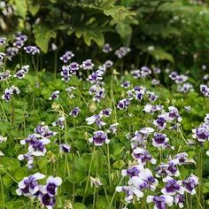 Australian Native Violets are always a wonderful addition to a garden. This tough little ground cover has such happy flowers that brighten the landscaping. Repost pic from @brookesblooms . . . . . . . #nativeviolets #groundcover #nativeplants #planttiles #instagarden #gardenlovers #gardening #gardenideas #australiangarden #gardening #ilovegardens #nativeflowers #shadygarden #happyflowers Australian Garden, Happy Flowers, Native Plants, Violets, Landscape, Cover, Gardens, Slipcovers, Garden