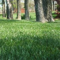 Awesome Hybrid Fescue Grass Seed