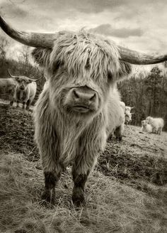 Dan Routh Photography: Scottish Highland Cattle
