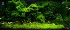 Favourites: Mossy tank by Zip I keep on insisting that low techs plants can still produce stunning results in aquascaping. If you don't have the time/money to spend on a high tech tank, just go for...