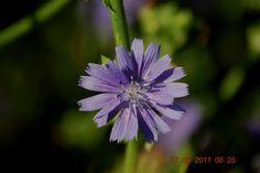 Flor do Cardo