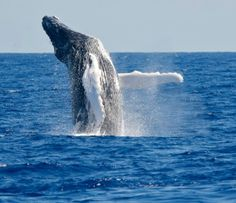 A whale breaching the water off of Bermuda
