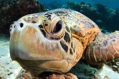 Hawksbill Turtle in Sipadan, via Flickr.