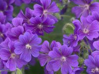 One of the most reliable and longest blooming plants for the garden, cranebill geraniums add a burst of color that starts in spring and lasts until first frost. The small, cup-shaped blooms are available in blue, pink, rose and magenta. Select a site that has good drainage. Not related to the annual geranium used in planters. USDA Hardiness Zones: 5 to 9