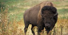 """I got """"You're a Wild Bison"""" on """"What's Your Wildlife Personality?"""" on Qzzr. What about you?"""