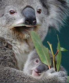 Image: Koala joey named 'Boonda' hugs his mother 'Elle' as she eats eucalyptus leaves in their enclosure at Wildlife World in Sydney