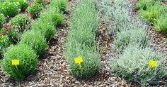 Resultado de imagen de cultivos de plantas aromaticas