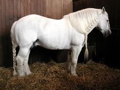 }{  Boulonnais stallion with loose running braid on mane and braided tail