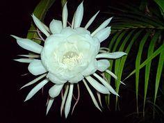 Saussurea obvallata / Brahma Kamal, night bloomer - full bloom under the moon. Rare Flowers, Bright Flowers, Amazing Flowers, Pretty Flowers, Yellow Flowers, Exotic Flowers, Night Garden, Moon Garden, Growing Flowers