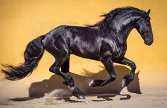 "Ignacio Alvar Thomas (@alvar_thomas) on Instagram: ""Friesian Stallion at @frisonesdelacruz  #frisones #friesians #friesianstallion #horsesofinstagram…"""
