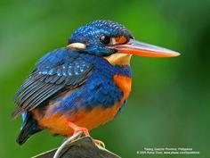 Indigo-banded Kingfisher. Photo by Romy Ocon Tiaong, Quezon Province, Philippines, November 2005