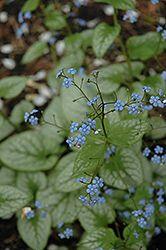 Jack Frost Bugloss (Brunnera macrophylla 'Jack Frost') at Gertens